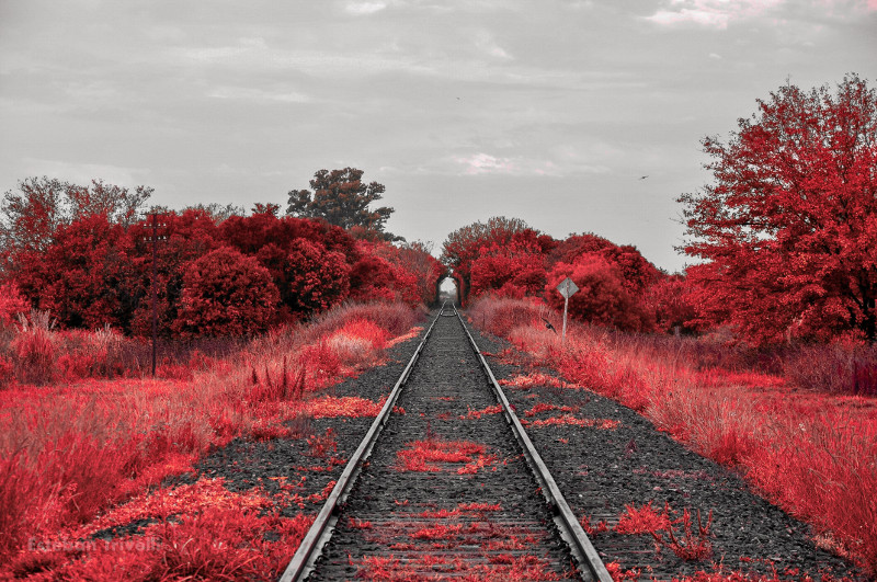 Photo of a railroad with pink vegetation